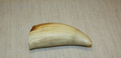 Whale tooth image