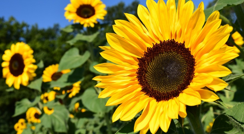 Sunflower Challenge Workshop image