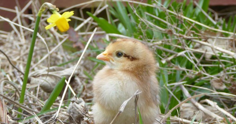 chick at daffodil at almond valley